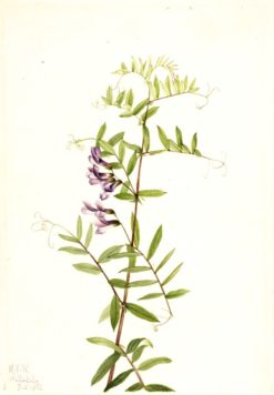 American Vetch (Vicia americana) | Mary Vaux Walcott | Oil Painting