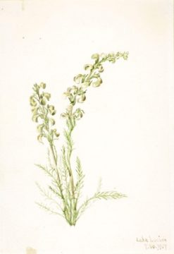 Alpine Fernlife (Pedicularis contorta) | Mary Vaux Walcott | Oil Painting