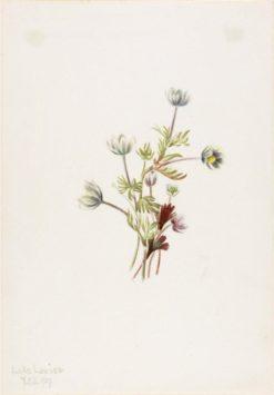 Anemone (Anemone drummondii) | Mary Vaux Walcott | Oil Painting